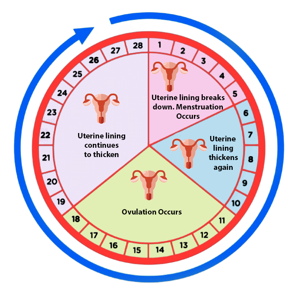 infographic Day of Ovulation